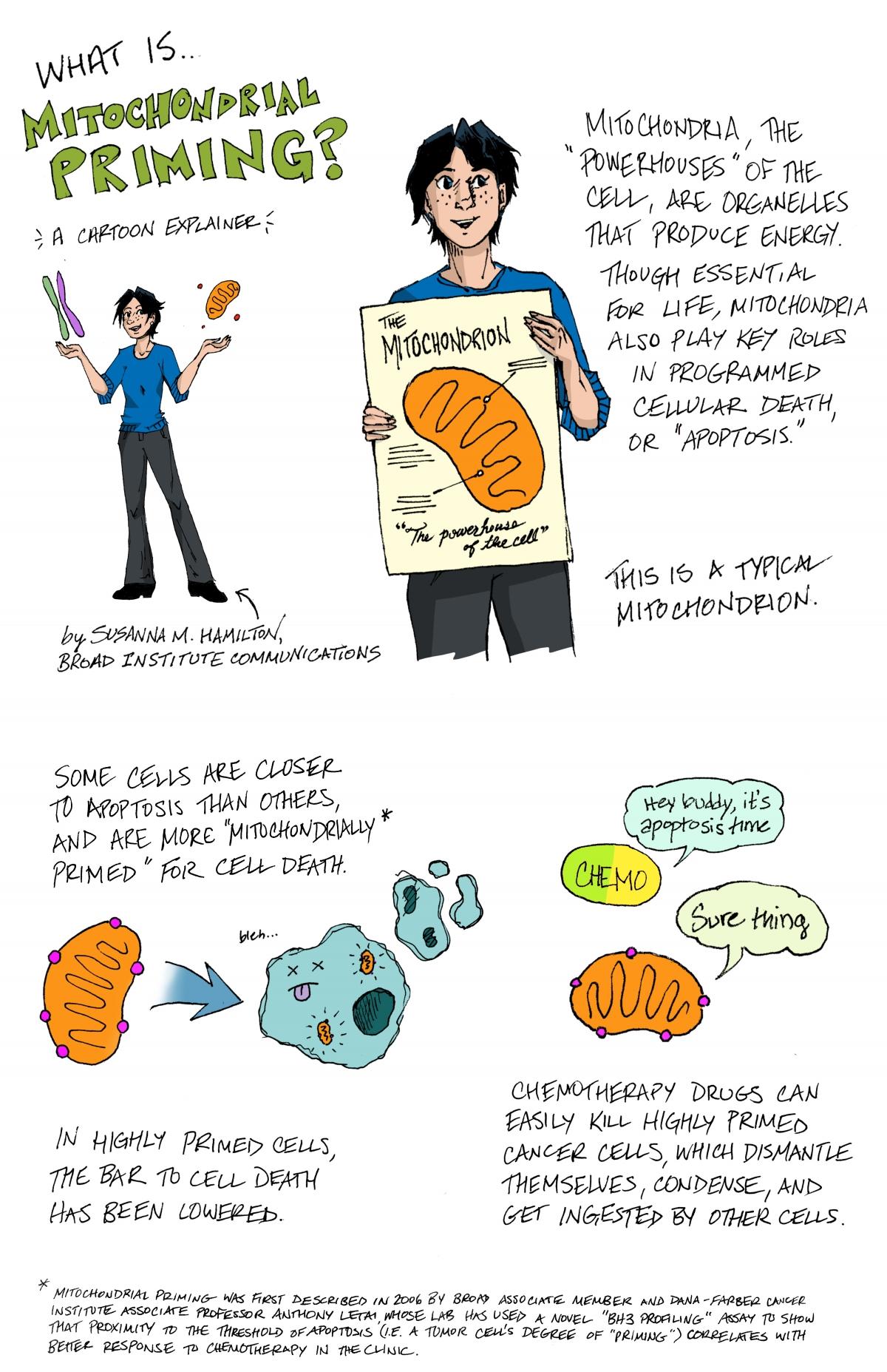 Explainer Mitochondrial Priming Broad Institute