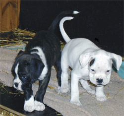 Boxer puppies displaying flash (mixed)