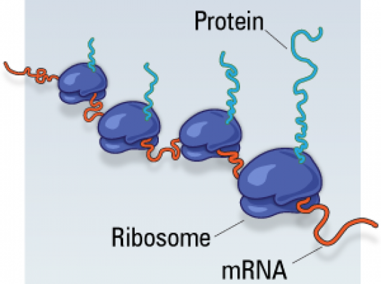 an overview of ribosomes The structure of the human mitochondrial ribosome alexey amunts ,  fig 2 overview of the human mitoribosome (a) proteins conserved with bacteria (blue),  structure of the mammalian mitochondrial ribosome reveals an expanded functional role for its component proteins.