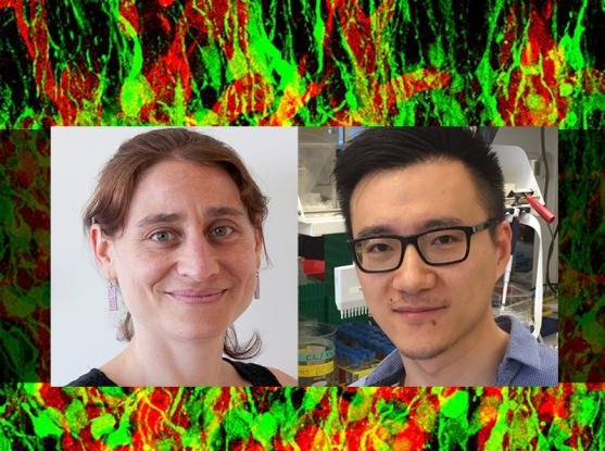 Composite image courtesy of Lauren Solomon, Broad Communications. Naomi Habib's photo by Maria Nemchuk; Yinqing Li photo courtesy of the Zhang lab; neural stem cell image from Wikimedia.