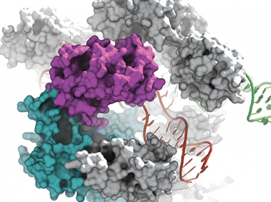 CRISPR-Cas9.  Image by Ian Slaymaker, Broad Institute